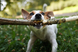 jack russell fight over stick 9BXYDWE